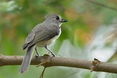 Tufted titmouse DSC_0332 (blthornburgh) Tags: bird nature tampa backyard florida wildlife tuftedtitmouse thornburgh