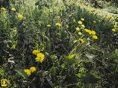 Dandelion II (Danny 666) Tags: flower green yellow dandelion blowball