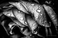 MUNICH July 22nd 2016 (Fay2603) Tags: monochrome einfarbig schwarzweis whiteblack indoor rose macro rain drops water wassertropfen regentropfen tropfen wasser bltenbltter leaves schatten licht shadow light lightning silver silbern trauer sadness tears trnen buds structure background black dark dunkel bedrckend eau aqua blumen flowers fiori blossom