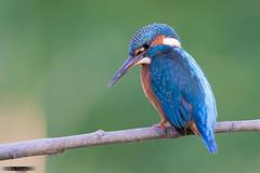 Pescador (rafagomezz) Tags: kingfisher colours colores verde martnpescador martn pescador birdwatching birds birding spain nikon rio river green posado aves