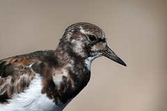 Confidence (Luis-Gaspar) Tags: bird portugal animal nikon iso400 ave oeiras f8 passaro ruddyturnstone d60 turnstone 12000 arenariainterpres roladomar 55300
