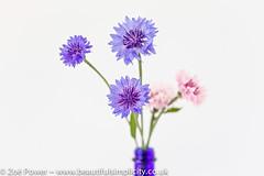Cornflower blue (Zo Power) Tags: blue cornflowers flowers mygarden pastel pink pretty summer whitebackground