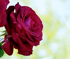 Deep Red Rose (RJAB2012) Tags: red burgundy maroon rose rosa fullbloom blood 100v10f