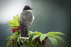 Eastern Kingbird (1 of 1) (DavidGuscottPhotography) Tags: berries eastern kingbird