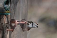 2016 Chipping Sparrow 3 (DrLensCap) Tags: park chicago bird robert nature illinois village north center il sparrow kramer chipping