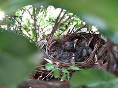 IMG_1193_Fotor01 (Ela's Zeichnungen und Fotografie) Tags: baby nest natur hannover vogel busch kcken