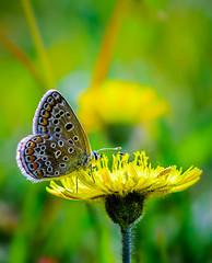 Butterfly (kstenjung) Tags: macro nikon makro garten rostock schmetterling mecklenburgvorpommern butterfy botanischer sigma105mm makrofotografie d5100