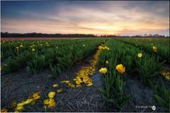 Yellow tulip (Caramad) Tags: rosa color sunset paisesbajos lisse jardin campo keukenhot holanda holland magenta tulipn tulip sol agricultura flower flor field