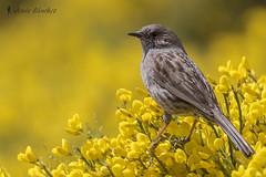 Acentor comn (Prunella modularis) (jsnchezyage) Tags: naturaleza bird fauna birding ave prunellamodularis acentorcomn