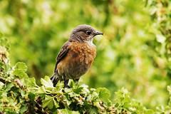Female Western Bluebird (Sialia mexicana) (Frank Shufelt) Tags: usa newmexico santafe birds female aves northamerica 1770 sanctuary songbirds passeriformes westernbluebird sialiamexicana randalldaveyauduboncenter june2016