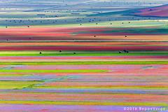 I Piani di Castelluccio di Norcia (beppeverge) Tags: appennini beppeverge bloom blooming blossom blossoming castellucciodinorcia efflorescence fields fiordaliso fiorita florescence flourish flowering flowers inflorescence landscape lenticchia lentis naturalpark papaveri parconazionale piangrande pianperduto pianidicastelluccio plateau poppies sibillini umbria