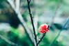 _MG_2343 (waychen_C) Tags: plum 屏東 梅 plumflower pingtung wutai うめ 霧台 プラム 霧台鄉 wutaitownship