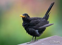 Blackbird Kos zwyczajny (Turdus merula) (Skues) Tags: kos turdusmerula blackbird