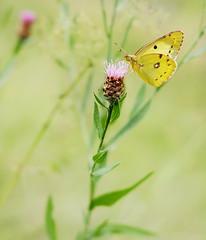 Yellow Summer - Gelber Sommer (macplatti) Tags: butterfly falter schmetterling summer yellow grass meadow blossom gelb sommer wiese koblach vorarlberg austria aut xt10 xf35 bokeh dof smooth