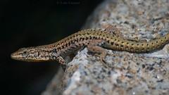 Slick (Luis-Gaspar) Tags: animal reptile reptil lagartixa lagartixaiberica lizard walllizard iberianwalllizard podarcishispanica portugal oeiras pacodearcos nikon d60 55300 f56 13200 iso400