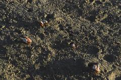 .crabs (arcibald) Tags: crab dinagat dinagatislands philippines sand