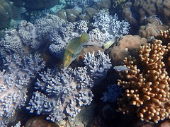 Fish in the coral at Michaelmas Cay (dracophylla) Tags: michaelmascay greatbarrierreef queensland australia