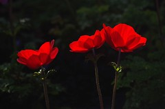 Three red flowers (mpp26) Tags: three red flowers