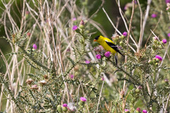 American Goldfinch (A Great Capture) Tags: american goldfinch berch yellow black white bird bull thistle cirsium vulgare savi tenore purple flower canada spinus tristis natur nature digital eos canon orange dof closeup urbannature agreatcapture agc wwwagreatcapturecom adjm on ontario canadian photographer ash2276 ashleylduffus ald mobilejay jamesmitchell summer summertime 2016 jeune jaune mississauga mariecurtispark spinustristis