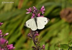Kohlweissling (GerWi) Tags: kohlweissling schmetterlinge butterflies natur nature tiere insekten insects outdoor schmetterling tier insekt blte pflanze blume
