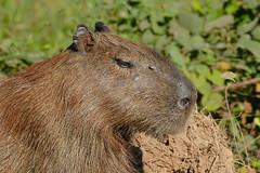 Capybara (Hydrochoerus hydrochaeris) female head (berniedup) Tags: pantanal transpantaneira pocon capybara hydrochoerushydrochaeris taxonomy:binomial=hydrochoerushydrochaeris