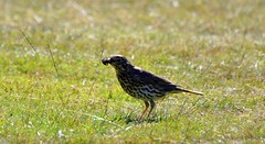 Thrush (45) with loads of ants to feed there young (John Carson Essex) Tags: thegalaxy thegalaxystars rainbowofnature supersix
