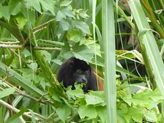 Costa Rica - Munching monkey (ashabot) Tags: costarica caribbean caribe nature critters animals coolanimals monkey green