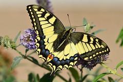 DSC_5023 (sylvette.T) Tags: butterfly nature 2016 nikon papillon machaon swallowtail extérieur grosplan
