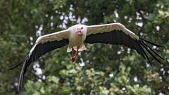 Weistorch (White Stork) (oliver_hb) Tags: weisstorch storch vogel verden