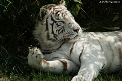 (madyfotografy) Tags: parcdesfelins exterieur animaux felins nature tigreblanc