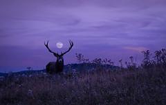 deep purple (Mitrycz) Tags: stag deer antlers moon deep purple night evening mammal animal nature field bankut forest blue