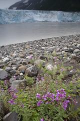 060722-003 (USFS Region 10) Tags: chugachnationalforest alaska forestservice cordova childsglacier copperriver glacier dwarffireweed epilobiumlatifolium wildflower wildflowers