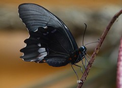Heraclides anchisiades (robertoguerra10) Tags: emerging from lepidoptera nimphalidae preta negra black butterfly red spots