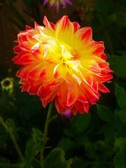 Shine on You Crazy Dahlia (Steve Taylor (Photography)) Tags: dahlia art digital black yellow red purple orange green newzealand nz southisland canterbury christchurch cbd city flower