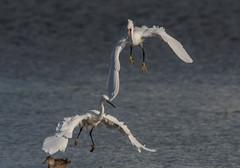 Wilstone Reservoir 16-10-2016-9793 (seandarcy2) Tags: egrets wilstone tring