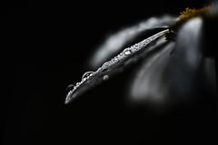 ptalegouttes (Hexilene) Tags: nikon nikonpassion nature nikond750 noir macro macrodreams lumire eau goutte sigma sigma105mm blanc