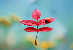 Autumn Leaf (ElenAndreeva) Tags: autumn leaves red forest color flower blue sun light tree summer cute colors 500px insect canon soft dream colorful sweet focus bug amazing nature macro rose leaf falling ledybug