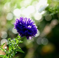 Lichtblick (isajachevalier) Tags: blte blume garten licht natur pflanze panasonicdmcfz150