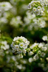 Tiny White Flowers (WilliamND4) Tags: flowers macro flora nikon d810 meyeroptikgoerlitztrioplanf28100lens