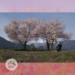 161023d (finalistJPN) Tags: sakura japaneseflowers discoverjapan visitjapan japanguide stopwars starwars c3po r2d2 clearsky daylight sunshine sunny stockphotos availablenow