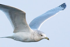 Bird in Flight - Handheld at 600mm (KWPashuk) Tags: nikon d7200 tamron150600mm kwpashuk kevinpashuk seagull flight flying bird nature outdoors lightroom