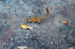 Chipmunk decision (U.S. Fish and Wildlife Service - Midwest Region) Tags: rock mammal nature chipmunk fall seasons minnesota mn wildlife autumn animal