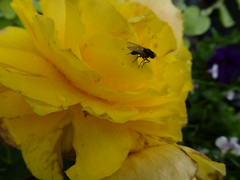 Fly on a Begonia ! (Mara 1) Tags: summer flowers begonias yellow petals outdoors fly