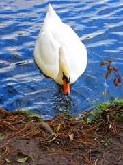 Swan Santry Woods 17-10-2016 004 (gallftree008) Tags: swans santry woods dublin ireland 17102016 codublin county irish irishwildlife water nature naturesbeauties naturescreations amazingnature lake bird birds avian aqua wildlife lifebouy dub