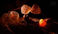 Playing with little light and autumn colors (MaiGoede) Tags: lowkey butjadingen fedderwardersiel flora autumn autumncolors deutschland nikon germany makro macro nature natur naturfoto natura natureza pflanzen plants lampionblume physalisalkekengi wildeblasenkirsche japaneselantern solanales solanaceae nachtschattenartige nachtschattengewchse golden