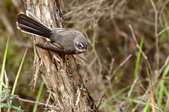Grey Fantail (Rodger1943) Tags: fantails greyfantail australianbirds fz1000
