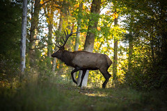 Elk County, Pennsylvania (Jacob Stoltzfus) Tags: elk bull wildlife nature pennsylvania natgeo fall autumn animals
