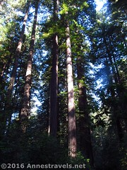 Redwoods in the Lady Bird Johnson Grove (Anne's Travels) Tags: redwoodnationalpark redwoods ladybirdjohnsongrove california