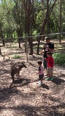2016.10.10 兩兄弟和袋鼠互動-3 (amydon531) Tags: 澳洲 黃金海岸 gold coast australia trip travel vacation baby boys kids brothers justin jarvis family toddler cute paradise country kangaroos 袋鼠