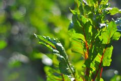 tnalP (Ben Bishop.) Tags: bee macro flower plant plants flowers floral f18 nikkor nikon d90 nikond90 melbourne benfrommelbourne aperture